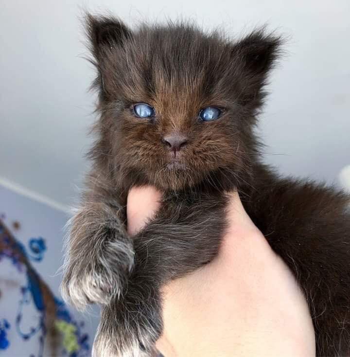 a maine coon kitten.jpg