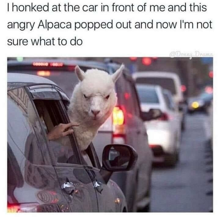 alpaca.jpeg