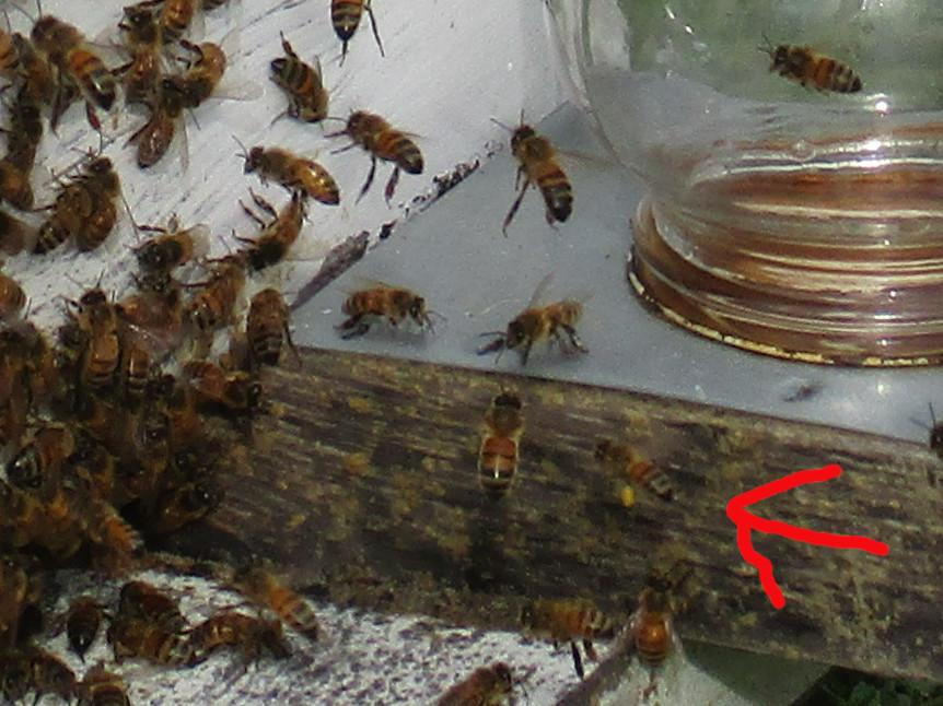Bee pollen 02a sm.JPG