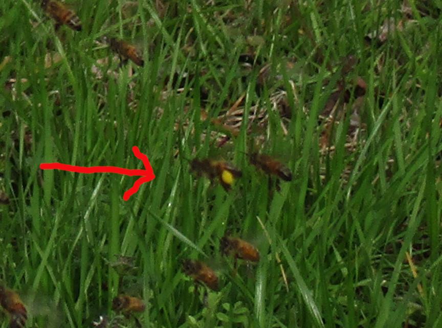 Bee poop (2) sm pollen 1.JPG