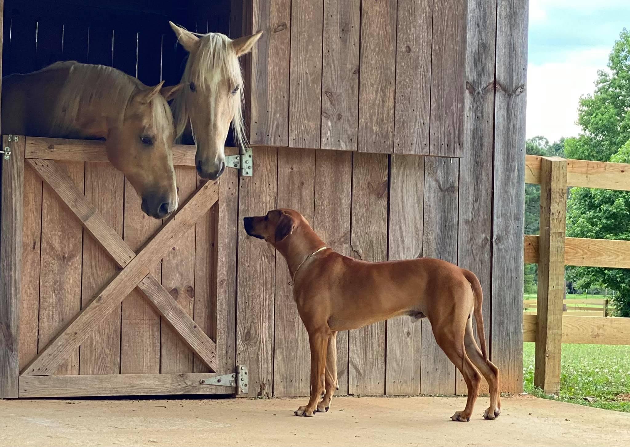 Rhodesian and horses.jpg